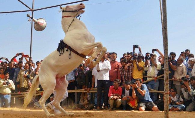 Visitors enjoy horse-dance at the Pushkar Camel Fair in Pushkar, Sunday. PTI photo