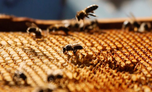 A view shows bees on a honeycomb section at a private apiary of beekeeper Pyotr Goloburdo outside the remote Siberian village of Volny near Krasnoyarsk, Russia August 28, 2019. Picture taken August 28, 2019. REUTERS/Ilya Naymushin
