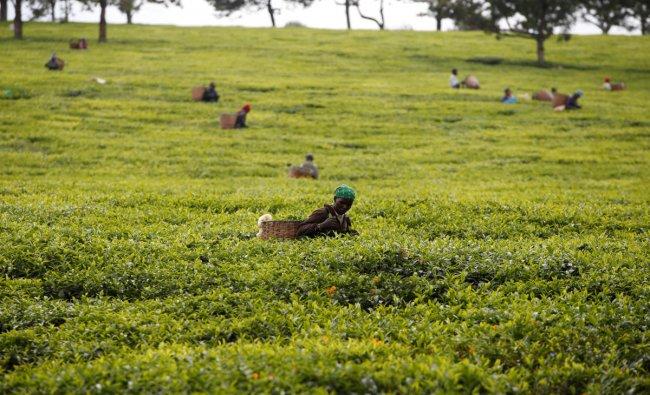 Workers pick tea leaves at a plantation in Kiambu County, near Nairobi, Kenya, April 26, 2018. Reuters Photo