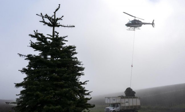 A helicopter drops a bundle of cut Christmas trees onto a truck at Noble Mountain Tree Farmin Salem, Oregon. Noble Mountain is one of the largest Christmas tree farms in the world, harvesting about 500,000 trees per season. Credit: AFP Photo