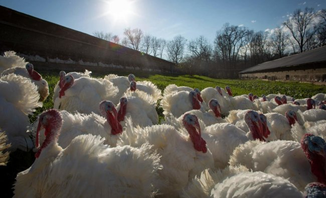 Turkeys are seen outside a barn at a farm in Orefield, Pennsylvania, ahead of the Thanksgiving holiday. Credit: AFP Photo