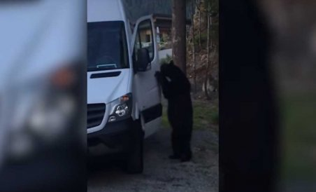 Video: Bear breaks into van, attempts to steal food | Deccan Herald