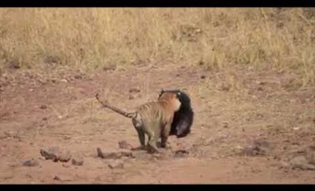 Fight between a tiger and bear caught on camera