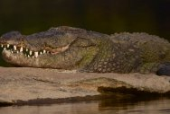 Human limbs found inside belly of Indonesia crocodile: police