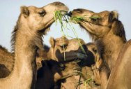 Here, camels don't lament
