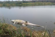 One of the crocodiles found dead in the fly ash pond of the Yermarus Thermal Power Station at Shaktinagar in Raichur district. dh photo