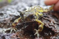 Killer pathogen found in Western Ghats's Amboli toads