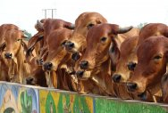 Officer blocked from chasing truck laden with cows