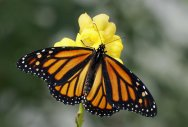 Mounting levels of atmospheric carbon dioxide pose a threat to monarch butterflies, by reducing the medicinal properties of milkweed plants that protect the iconic insects from disease. File Photo