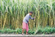 Govt hike sugarcane price to Rs 275/quintal for 2018/19