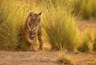 Tiger in a beautiful golden light in the nature habitat, Ranthambhore National Park, Indiacorbett national park