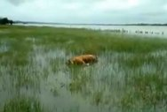 Tiger found dead in Kabini backwater