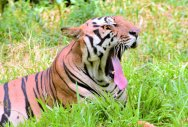 R'sthan tiger missing; Forest dept to launch search
