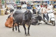 Man booked for rash driving, hurting cow