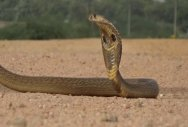 Cobra enters house past midnight, man calls up CM!
