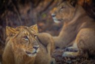 In the lion's den in Gir