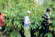 Coffee crops robbed of their robust flavour