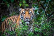 Team mulls using CK cologne to lure man-eating tigress