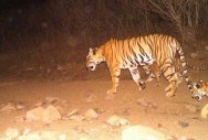 Avni's cubs spotted; Efforts intensified to track down