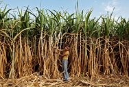 Growers urge Modi to regulate sugar recovery rate