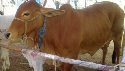 Now Bull and Cow safari for tourists in Jaipur