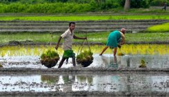 Kharif farm output pegged at 141.59 million tonnes