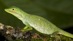 Study finds new lizard species in Western Ghats