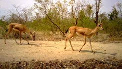 Proposal for chinkara sanctuary in dist gathers dust