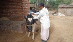 Dairy farming drops by 30%