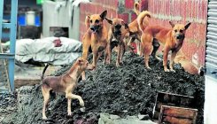 Street dogs torment residents of Aldur