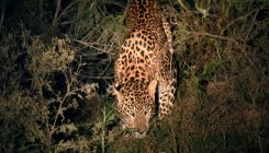 Stray leopard remains elusive on first night