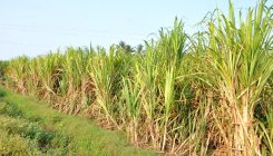 Parties play politics as cane growers wait for dues
