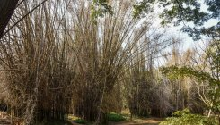 Cubbon Park to have four times more bamboo trees