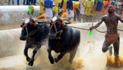 SC refers plea against 'Kambala' to Constitution bench