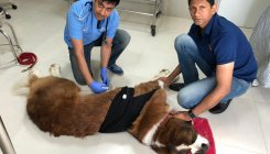 Dogs undergoing surgery to prevent gastric bloat