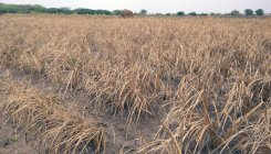 Drought: Govt bans inter-state fodder transport