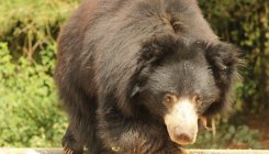 India's last dancing bear celebrates 9 years of freedom