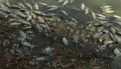 New Australia mass fish deaths in key river system