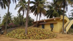 Coconut thieves frustrate horticulture dept's plans