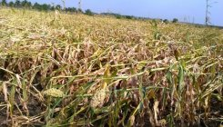 Untimely rain damages crops