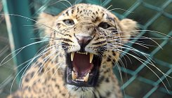 Woman injured in leopard attack