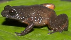 New frog species discovered in Western Ghats