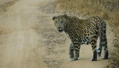 12 year old boy killed in leopard attack in Balrampur