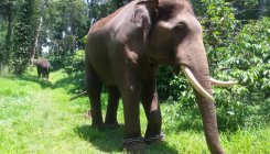 Forest Department to capture another wild elephant