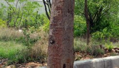 Unscientific work leaves trees vulnerable in park