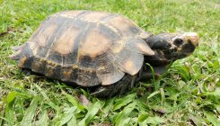 B'luru team find new tortoise species in Arunachal