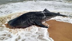 Whale shark washed ashore near NIT-K