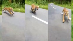 Alarm in forest as tiger chases passing bikers