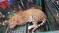 WB: Closed tea gardens turn into leopard habitat