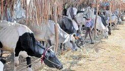 UP mulls issuing certificates to transport cows